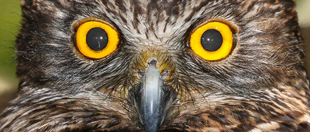 Secret life of the Powerful Owl